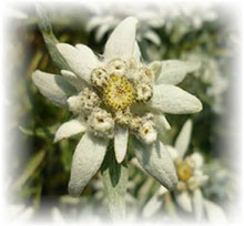 Edelweiß - Leontipodium alpinum