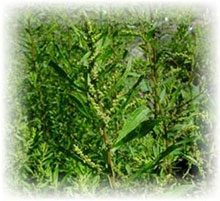 Epazote - Chenopodium ambrosioides