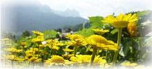 Färberkamille - Anthemis tinctoria