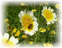 Gemüsechrysantheme - Chrysanthemum coronarium
