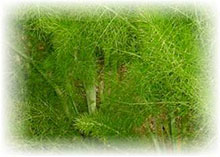 Gewürzfenchel - Foeniculum vulgare