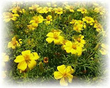 Gewürztagetes gelb - Tagetes tenuifolia