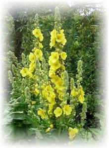 Königskerze - Verbascum thapsus