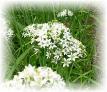 Schnittknoblauch weiß - Allium tuberosum