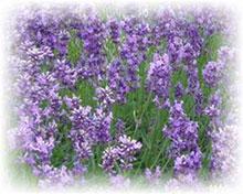 Schweizer Lavendel - Lavandula officinalis