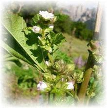 Gemüsemalve - Malva verticillata