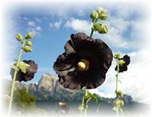 Malve schwarze - Malva nigra