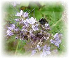 Phacelia - Bienenfreund - Phacelia tanacetifolia
