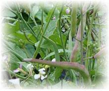 Rattenschwanzradies - Raphanus caudatus