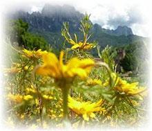 Ringelblume arabische - Cladanthus arabicus