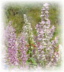 Muskatellersalbei -Salvia sclarea