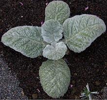 Silberblattsalbei - Salvia argentea