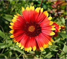 Kokardenblume - Gaillardia aristata