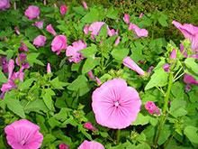 Malva regina rosa - Lavatera trimestris