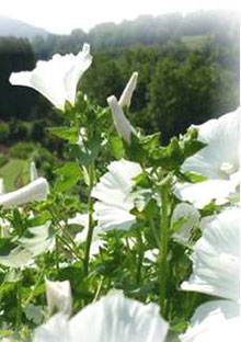 Lavatera trimestris (white flowers)