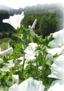 Bechermalve mix - Lavatera trimestris