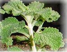 PFL Andorn - Marrubium vulgare