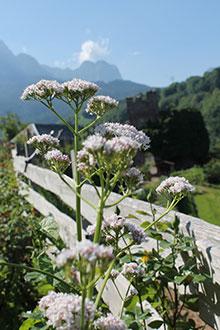 PFL Baldrian bio - Valeriana officinalis