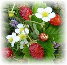 PFL Erdbeere Monatserdbeere kleinfrüchtig bio - Fragaria vesca var.horte