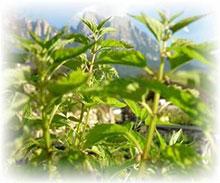 PFL Helmkraut virginisches (Ban-Zhi-Lian) bio - Scutellaria laterifolia