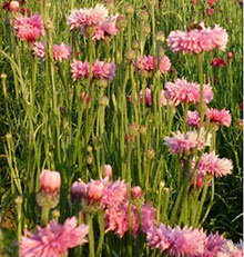 PFL Fiordaliso rosa bio - Centaurea cyanus