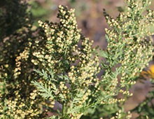 PFL Beifuß einjähriger (Quing - Guo) bio - Artemisia annua