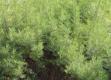 PFL Colastrauch bio - Artemisia abrotanum var. maritima