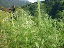 PFL Baumeberraute bio - Artemisia abrotanum ssp.