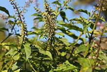 PFL Basilikum Anis Madeira bio - Ocimum selloi ssp.