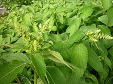 PFL Basilikum Zimt bio - Ocimum species