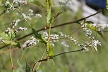 PFL Baumspinat bio - Fagopyrum cymosum