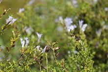 PFL Afrikanischer Duftsalbei bio - Salvia disermans