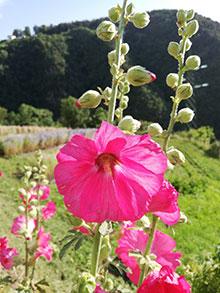 Malve - Stockrose rosa - Alcea rosea