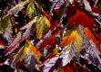 Epazote rot - Chenopodium ambrosioides
