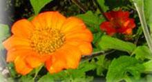 Amerikanische Sonnenblume - Tithonia rotundifolia