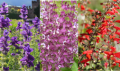 Salbei mix- Salvia officinalis mix