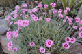 Duftnelke mix-Dianthus