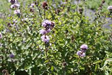 PFL Minze, Cap - BIO - Mentha longifolia ssp. wissi